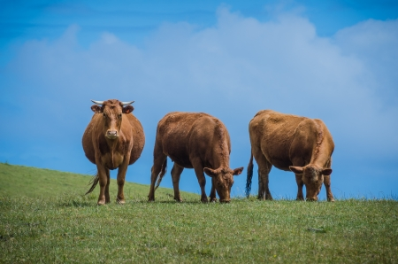 Three brown cows on a hill  Two eat grass and one stares at viewer photo