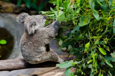 eucalyptus trees: Koala eating eucalyptus leaves