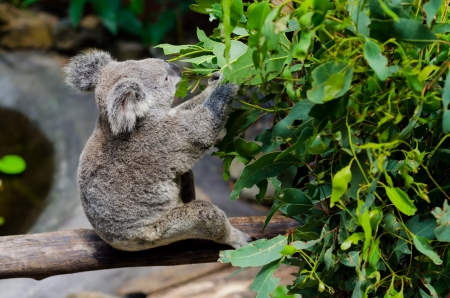 Koala manger de feuilles d'eucalyptus