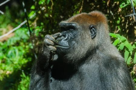 nose picking: Gorilla picking its nose
