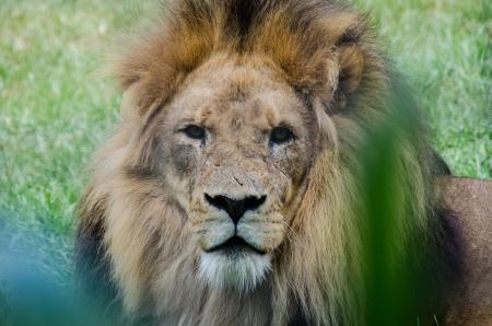 Scarred lion regardant fixement le spectateur Banque d'images
