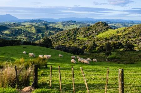 Schapen eten gras op de bergen van het noordelijke eiland van Nieuw-Zeeland