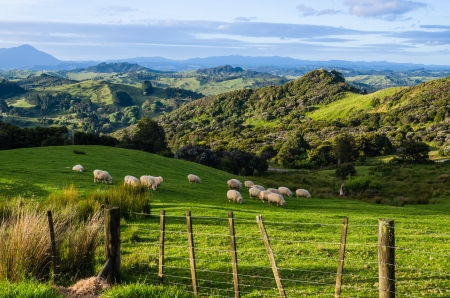 Sheep eating grass on the mountains of the north island of New Zealand Stock Photo