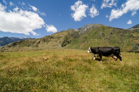 Cow walks on a green hill with mountains at the background