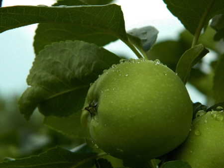 Apple tree with green apples after the rain