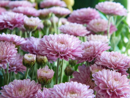 Pink flowers aster. A small bush.