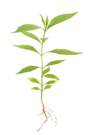raíz de planta: planta joven con raíces aisladas en blanco