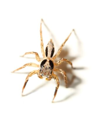 plexippus: jumping spider on white background Stock Photo