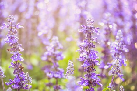 blue salvia flower background
