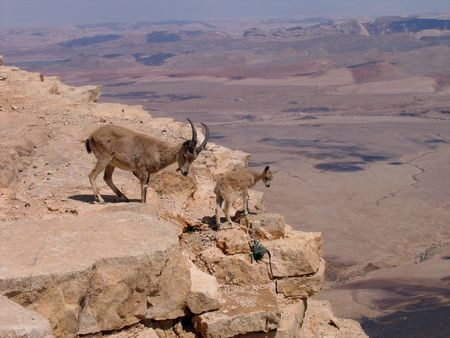 Deers at Ramon Crater, Israel Stock Photo - 7400293