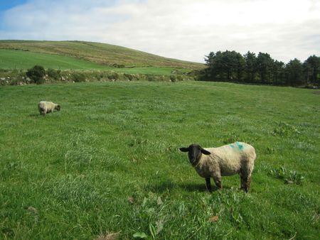 Sheep grazing on the grass in Ireland Stock Photo