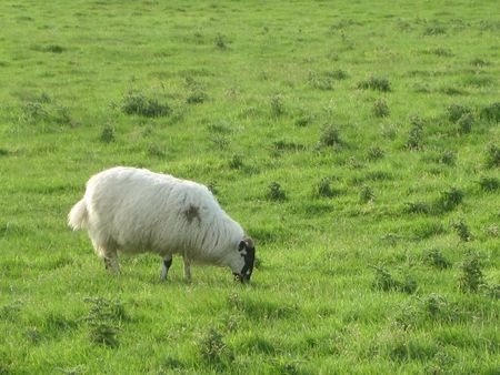 A sheep on the grass, grazing, in Ireland