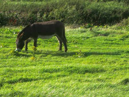 A donkey grazing, in Doolin, Ireland
