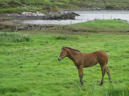A horse on the grass near the ocean fiord, in Sky Road, Clifden, Ireland
