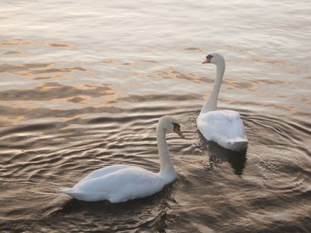 Two swans in the lake in Galway, Ireland