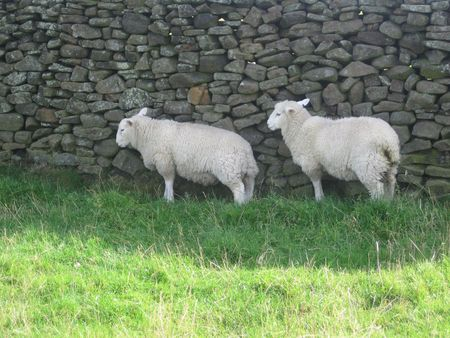 Two English sheep near the wall, Peak District National Park, Manchester, England