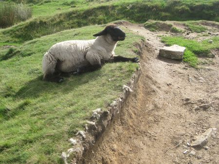 An English sheep laying near the route, Peak District National Park, Manchester, England