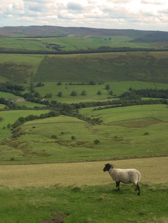 An English sheep overlooking the valley, Peak District National Park, Manchester, England