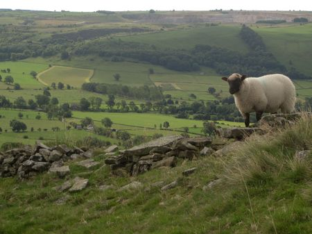 An English sheep on a hill overlooking the valley, Peak District National Park, Manchester, England photo