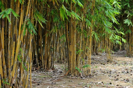 bamboo tree: Yellow bamboo forest background