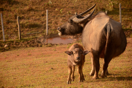 baby ass: Buffalo mother and her baby calf standing together side by side peacefully with the yellow sunlight in northern Thailand agriculture field  Ban Wat Chan  Chiang MaiMae Hong Son border