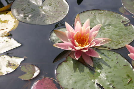 Pond with water lilies Stock Photo - 2622666