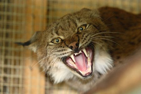 bobcat: Agressieve lynx Stockfoto