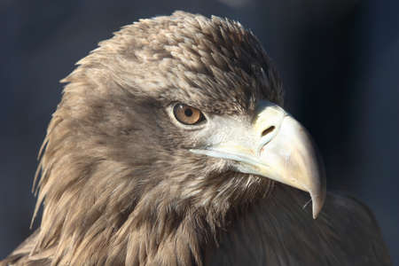 birdlife: Head of golden eagle (Aquila chrysaetos) Stock Photo