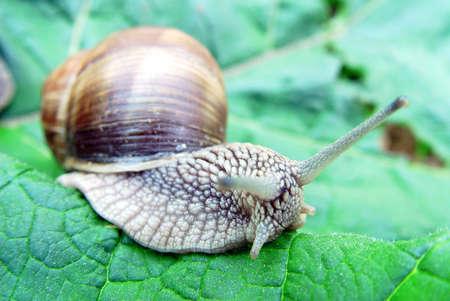 grape snail: Grape snail Helix pomatia on a leaf
