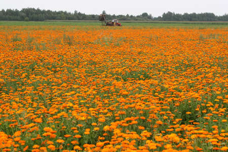 wheeled tractor: Field with a medicinal calendula and wheeled tractor