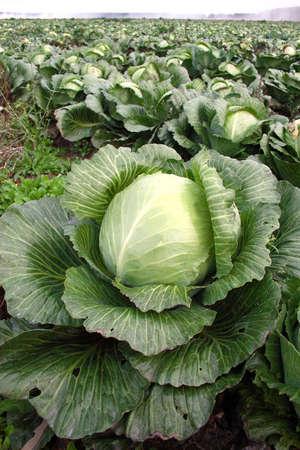 Cabbage on a farmer floor Stock Photo
