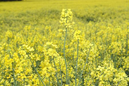 cultivable: A rape field. The cultivable area with rape is mostly used for biofuel.