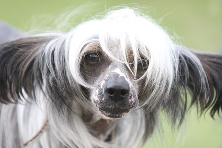Chinese crested dog Hairless dog