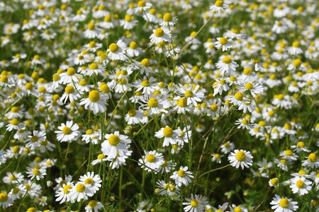 neuralgia: Camomile medicinal. It is widely used as medical means against fevers, inflammations, The Gastritis, stomach ulcer, neurosises, a hysteria, a neuralgia of a trigeminal nerve