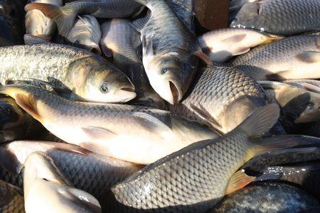 Catching of a carp, a silver carp, a white cupid, live fish in a pondCyprinus carpio Linnaeus, Hypophthalmichthys molitrix, Ctenopharyngodon idella