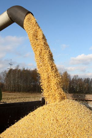 Loading of grain of corn in the car from a combine in the field