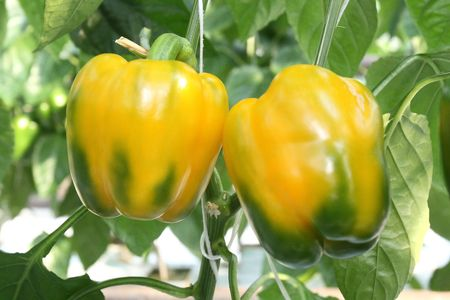 Yellow and green peppers growing in a garden photo