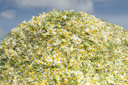 Camomile medicinal (Chamomilla recutita, Matricaria chamomilla L., Chamomilla recutita Rauschert). It is widely used as medical means against fevers, inflammations, The Gastritis, stomach ulcer, neurosises, a hysteria, a neuralgia of a trigeminal nerve photo