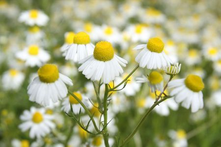 Camomile medicinal (Chamomilla recutita, Matricaria chamomilla L., Chamomilla recutita Rauschert). It is widely used as medical means against fevers, inflammations, The Gastritis, stomach ulcer, neurosises, a hysteria, a neuralgia of a trigeminal nerve Stock Photo