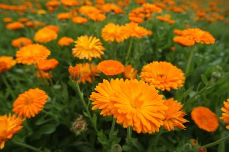 Field with a medicinal calendula Stock Photo