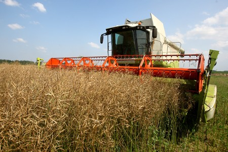 Machine harvesting Rape (Brassica napus) photo
