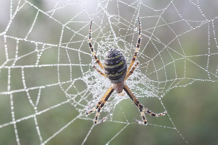 Spider (Argiopae) in a Dew Covered Web Stock Photo