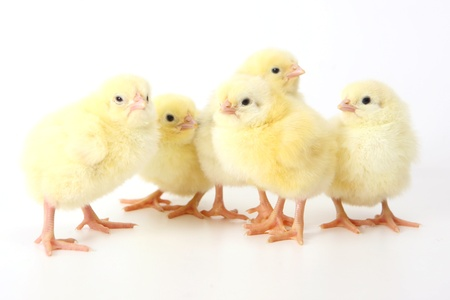 five small yellow eastern chicken