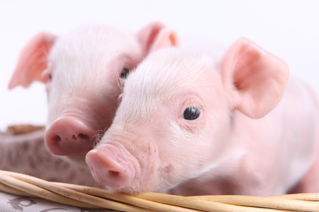 Two little pigs in a basket