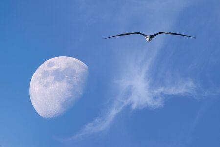 The Moon and flying in blue sky frigatebird  Фото со стока