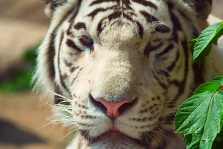 Muzzle of white Bengali tiger photo
