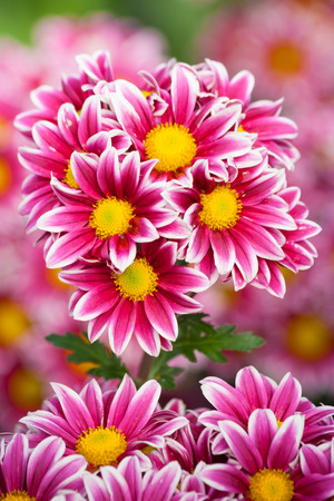 purpule: Bunch of purpule to white petals chrysanthemum Stock Photo