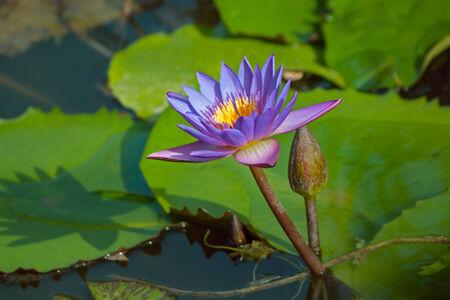 nelumbo: Violet Lotus flower, Nelumbo, in water