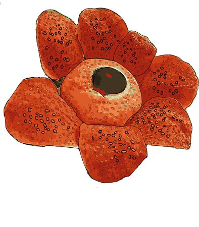rafflesia has a fame as the biggest single flower in the world. Vector Illustration
