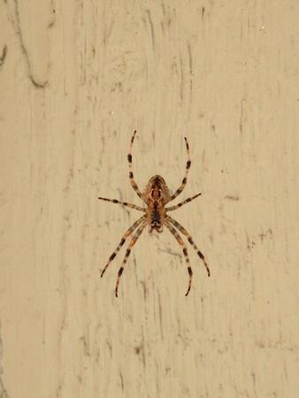 Gigantic wood spider